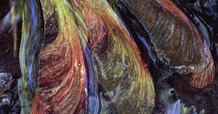 """Que tipo de árvore tem semente de bordo?. As sâmaras são frutos de árvores que popularmente são reconhecidas pelas suas sementes que, às vezes, são chamadas popularmente pelos nomes """"asinha"""" e """"helicóptero"""". Ela é uma semente seca com no formato de uma asa de papel ou pétala."""