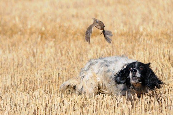 Mutlu Patilerr: Av Köpekleri ve Avcılık...