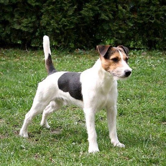 parson russell terrier full