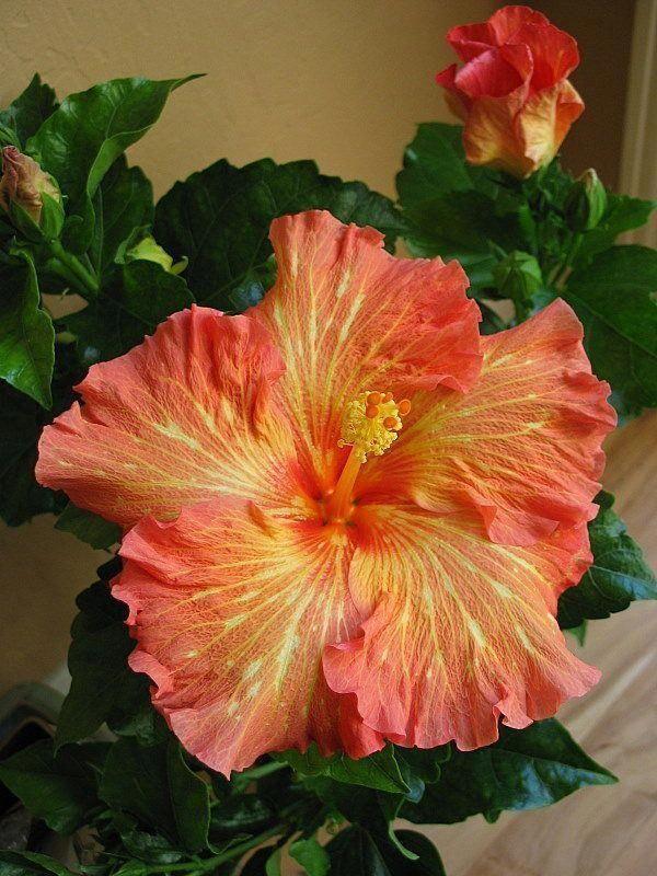 Hibiscus Flower Benefits In Tamil Hibiscus Hibiscus Plant Hibiscus Rosa Sinensis Hibiscus Flowers