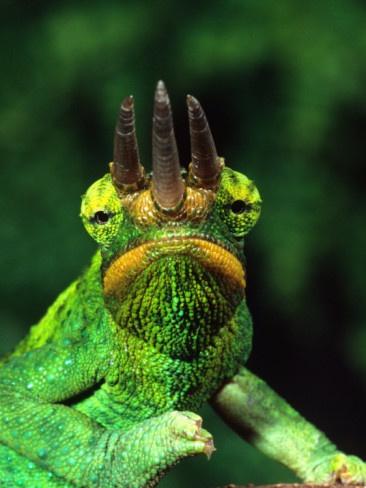 Jackson's Chameleon, Native to Eastern Africa // photo by David Northcott