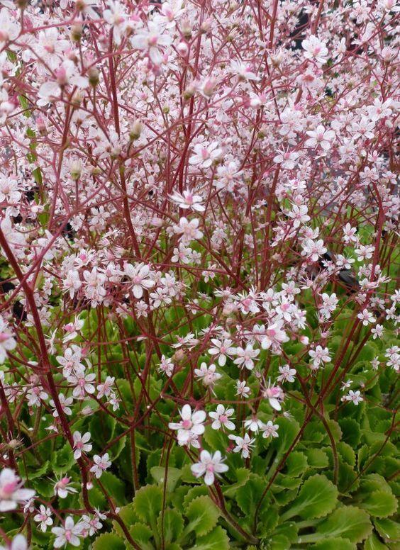Saxifraga urbium, schildersverdriet. Bodembedekker, groenblijvend. Schaduw-halfschaduw, hoogte: 30cm, bloei: mei-juni.
