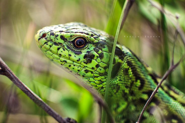 Look into my eye! - Lacerta agilis