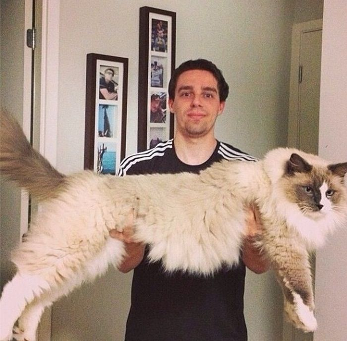 Wishing my new Maine Coon will get to this size