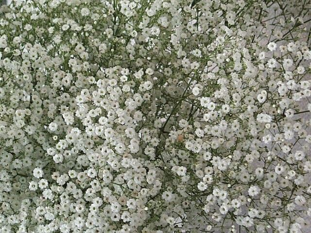 Baby's Breath Seeds For Sale | Buy Bulk Baby's Breath Flower Seeds At Eden Brothers