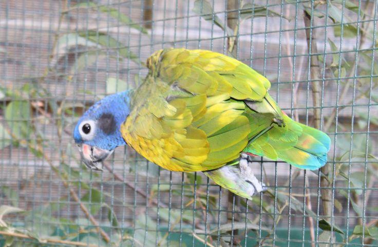 Ejemplar de loro cabeziazul llegado a las instalaciones del Parque Zoológico Ornitológico de Avifauna