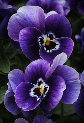 ♥♥ ✿✿✿ Pansies photographed by Cindy Dyer. ✿✿✿ (flowers)