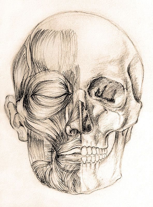 Écorché - by Alina Drăguceanu. Anatomy study of the head - muscles and skull. Charcoal on paper.