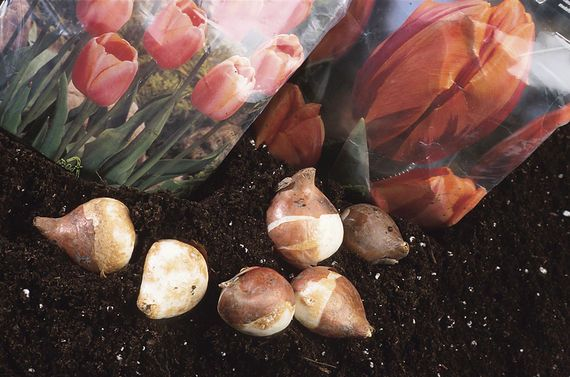 Learn how to grow fall bulbs for spring booms including hardiness, soil types, and blooming seasons. From The Old Farmer's Almanac.