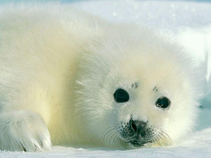 Baby White Seal | Cute Animal Pics | Pinterest - photo#27