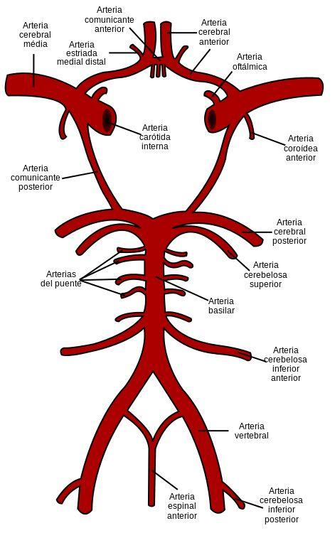 Circle of Willis es - Arteria espinal anterior - Wikipedia, la enciclopedia libre