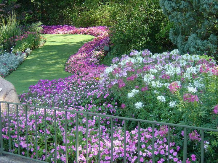 25 best tall spike flowers for back of the border images on cleome flower beds one of my favorite flowers mightylinksfo