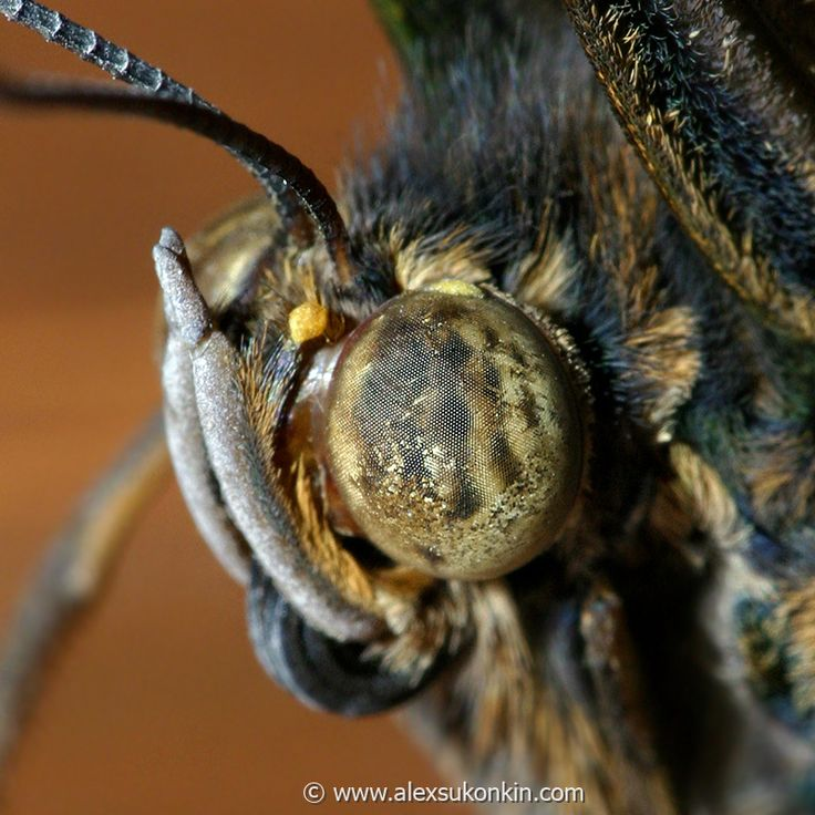DETAIL    butterfly-eye-closeup-ii.jpg - [en]Butterfly eye closeup. Portrait. Canon 300D,   Canon 100mm f2.8 macro  USM [ru]Ты кто!? Бабочка, портрет. Canon 300D,   Canon 100mm f2.8 macro  USM