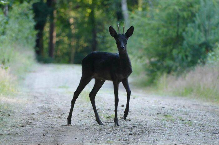 A Black Doe In 2021 Melanistic Animals Amazing Animal Pictures Animals