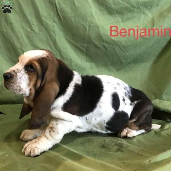 Benjamin Basset Hound Puppy For Sale In Indiana Hound Puppies Basset Hound Puppy Basset Hound