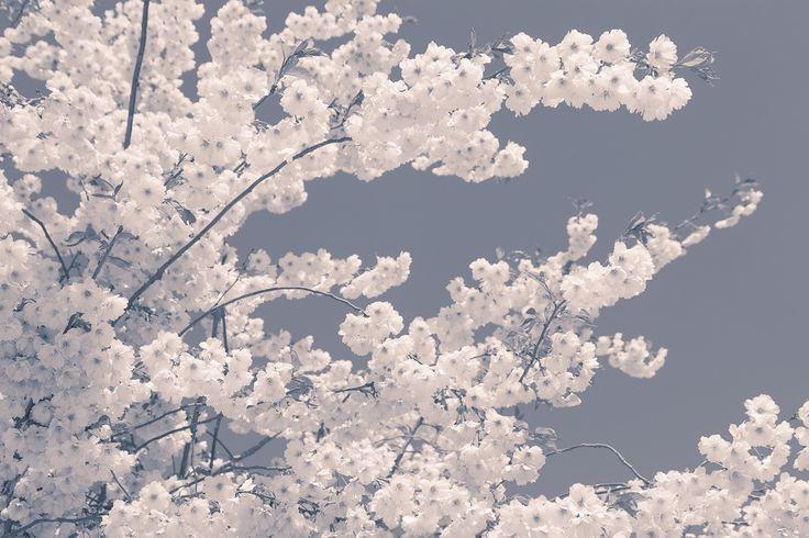 Witte bloesem op een blauwe achtergrond