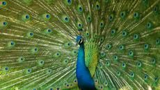 9 Feathery Facts About Peacocks