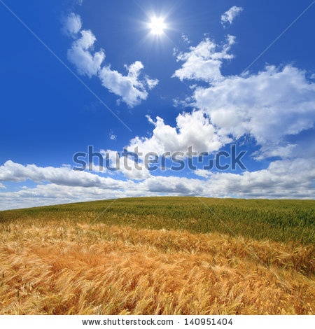 Wheat field against deep blue sky
