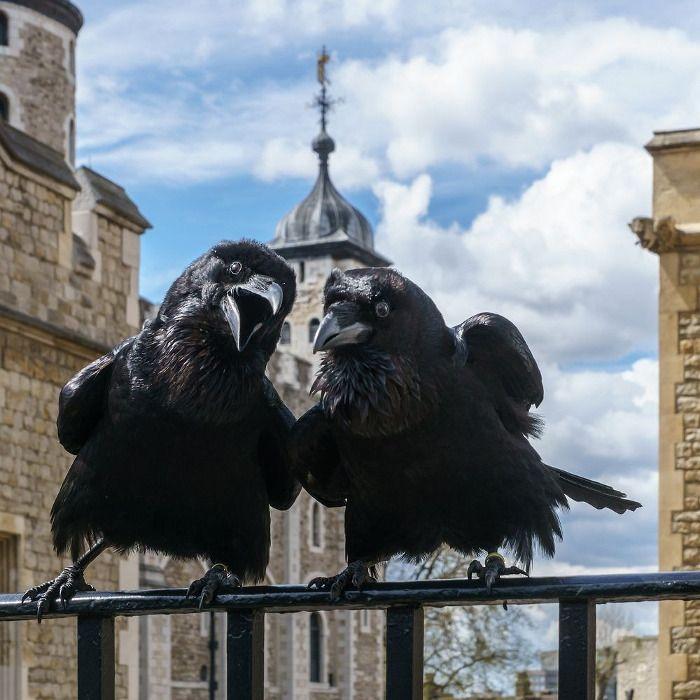 La leggenda dei Corvi della Torre di Londra, i protettori della Corona