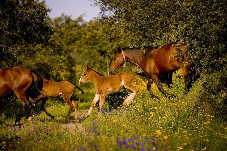 Alter Real mares and foals