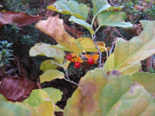 12月6日の誕生日の木「ツルウメモドキ(蔓梅擬)」です。 ニシキギ科ツルウメモドキ属の落葉つる性木本。原産地は、中国、朝鮮半島、日本、千島列島南部などの東アジアです。日本では、北海道から沖縄にかけて分布し、山野の林の縁などに生育しています。 樹皮は灰色で、今年出た枝は黄緑色で無毛。しだいに赤褐色に変化します。葉は、長さ4cm~10cm、幅2cm~8cmの楕円形または倒卵形で、縁には浅いギザギザ(鋸歯)があります。開花期は5月~6月。雌雄別株で、葉腋や枝先に直径6~8mmほどの淡緑色の花を10数個つけます。果実は直径7mm~8mmの球形で、10月~12月に黄色に熟します。熟すと3つに割れて、橙赤色の仮種皮に包まれた種子が顔をだします。種子は4mmほどで、野鳥に食べられ、散布されます。 ツルウメモドキの名前は、ウメモドキ(梅擬:モチノキ科)に似たツル性植物といった意味です。