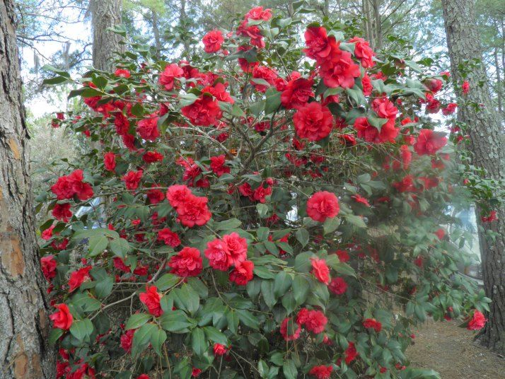 17 best images about camellia plants on pinterest for Landscaping plants south carolina