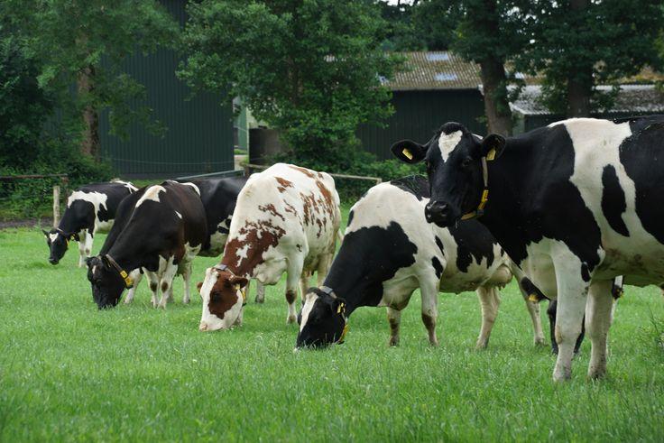 Milch, Kühe, De Öko Melkburen, Landwirdschaft, Milchproduktion, Vier Pfoten, Bio, Elternzeit,