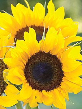 Sunflower, Elegance - Sunflower at Cooksgarden.com
