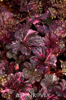 Midnight Rose Coral Bells - 10 in tall, 16 in wide.  Flower stems reach 2 ft tall.  Partial to full sun.