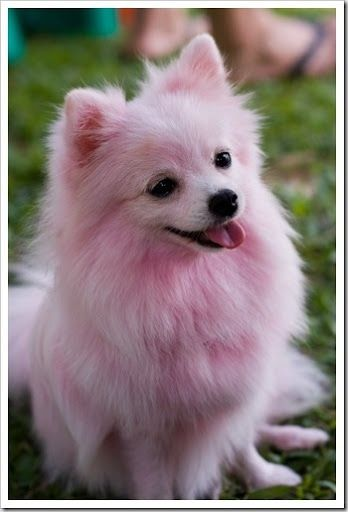 Dyed pomeranians | Wouldn't ever dye my baby dawg~ but this is cutes~Pink Pomeranian.