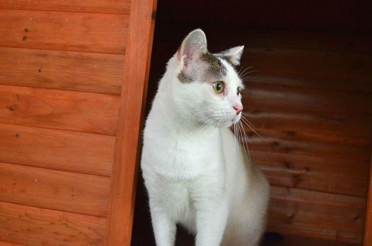 Gus, gato en adopción en Madrid (España) cpa.torrejon@hoope.org