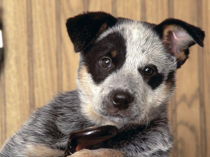 Australian Cattle Dog Puppies 7