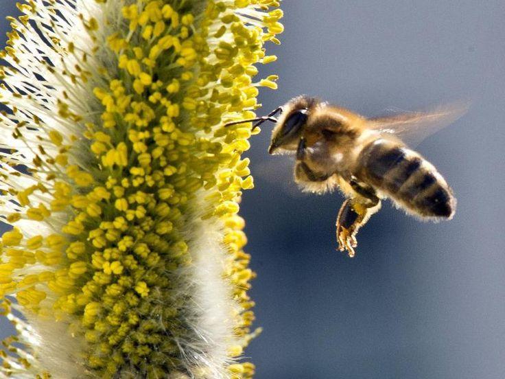 Biene im Anflug ~ Umweltschützer warnen zum Beispiel, daß durch den starken Pestizid- und Gentechnikeinsatz die Zahl blütenbestäubender Tiere wie der Bienen dramatisch sinken könnte. 75 Prozent der Nahrungspflanzen und 90 Prozent der wildwachsenden Blütenpflanzen werden nach Auskunft des Weltrats für Biodiversität von Tieren bestäubt - und sind wichtiger Bestandteil der Nahrungsmittelproduktion für Menschen.