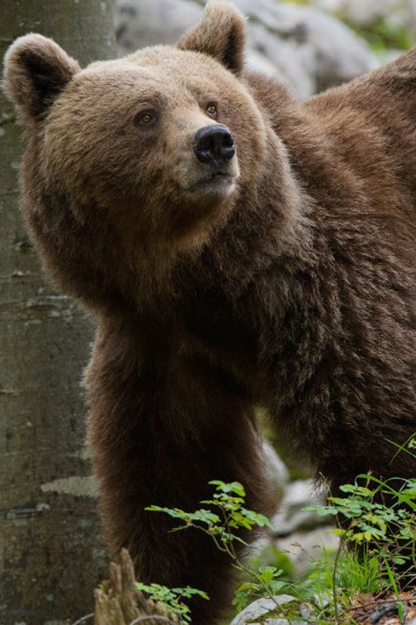 The Brown Bear Can Mainly Be Found In The Forests Of The Notranjska And Kocevsko Regions According To Estimates Approximately 560 Bro Brown Bear Bear Hunting