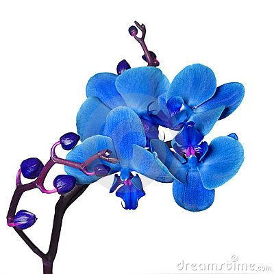 Orchids: Blue Orchids, Orchids Love, Flowers Nature S Laughter, Orchids Ii, Flower Gardens, Beautiful Orchids, Photo, Orchids Inspire, Orchid Isolated