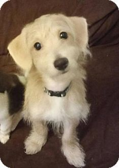 Oakland Park, FL - Cairn Terrier/Poodle (Miniature) Mix. Meet Dusty, a puppy for adoption. http://www.adoptapet.com/pet/16825835-oakland-park-florida-cairn-terrier-mix
