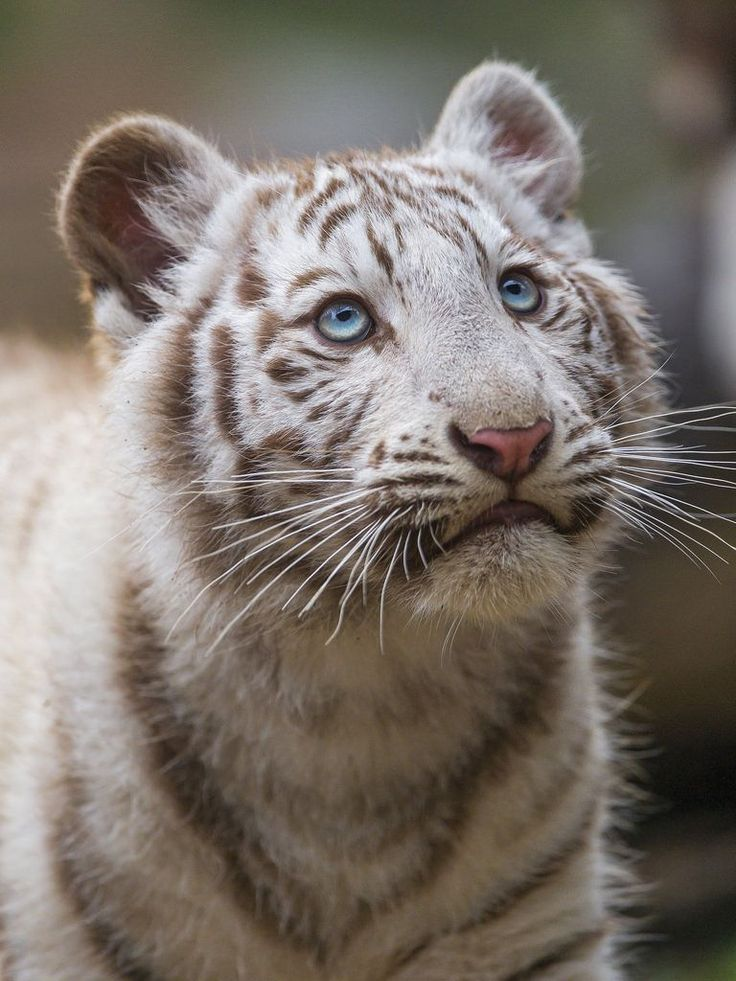 "Adorable white tiger cub looking upwards by Tambako the Jaguar on Flickr ☛ http://flic.kr/p/u5QCxw ""Last white tiger cub picture, and I think one of my face!"" #BigCatFamily"