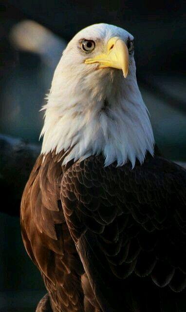 Cool Bald Eagle.