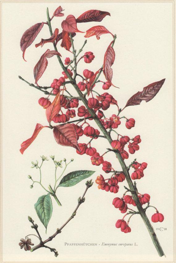 1960 Vintage Botanical Print Euonymus europaeus by Craftissimo