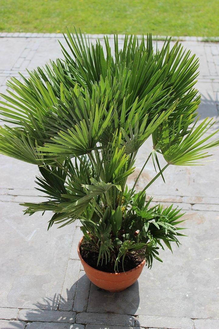 Chamaerops humilis vulcano palm outdoors - Palme nane da giardino ...