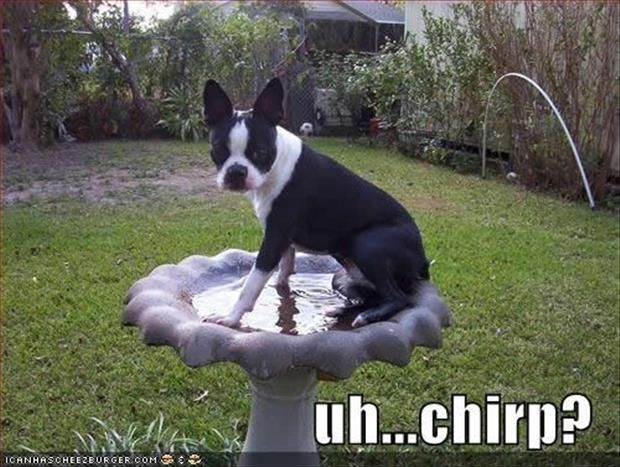 Attack Of The Funny Animals - 32 Pics: Funny Animals, Dogs, Pet, Uh Chirp, Funnies, Boston Terriers