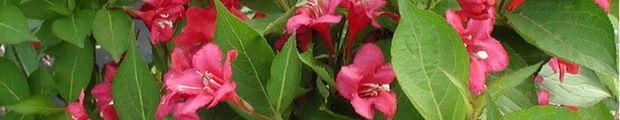 arbusti Weigela::Vivai Priola