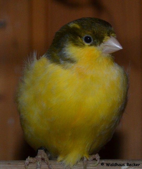 Kanarienvogel, männlich, Rasse: Harzer Roller