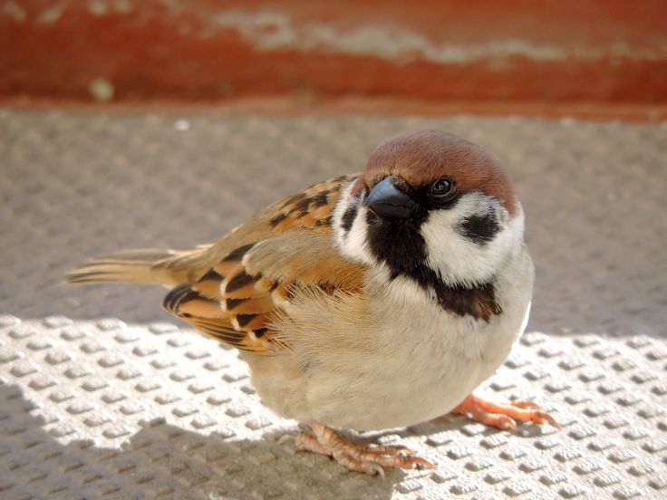 Today I saw a sparrow at mu grandmother's house that was so fat that he looked like a robin at first. Looked a little like this fella here but bigger.