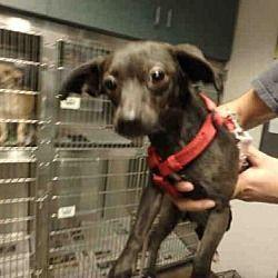 Chatsworth, California - Chihuahua. Meet TINKERBELL, a for adoption. https://www.adoptapet.com/pet/20668214-chatsworth-california-chihuahua-mix