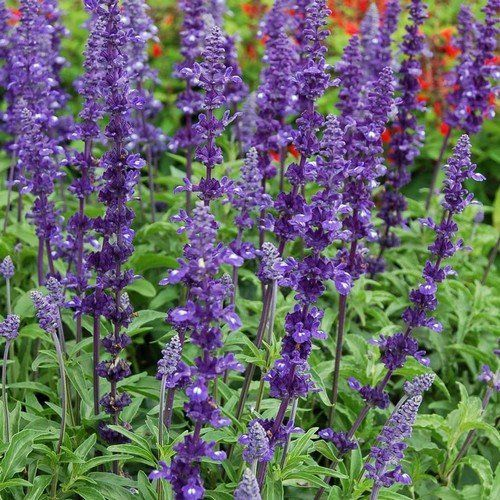 Salvia Blue Victory Herb Seeds (Salvia Farinacea) 50+Seeds