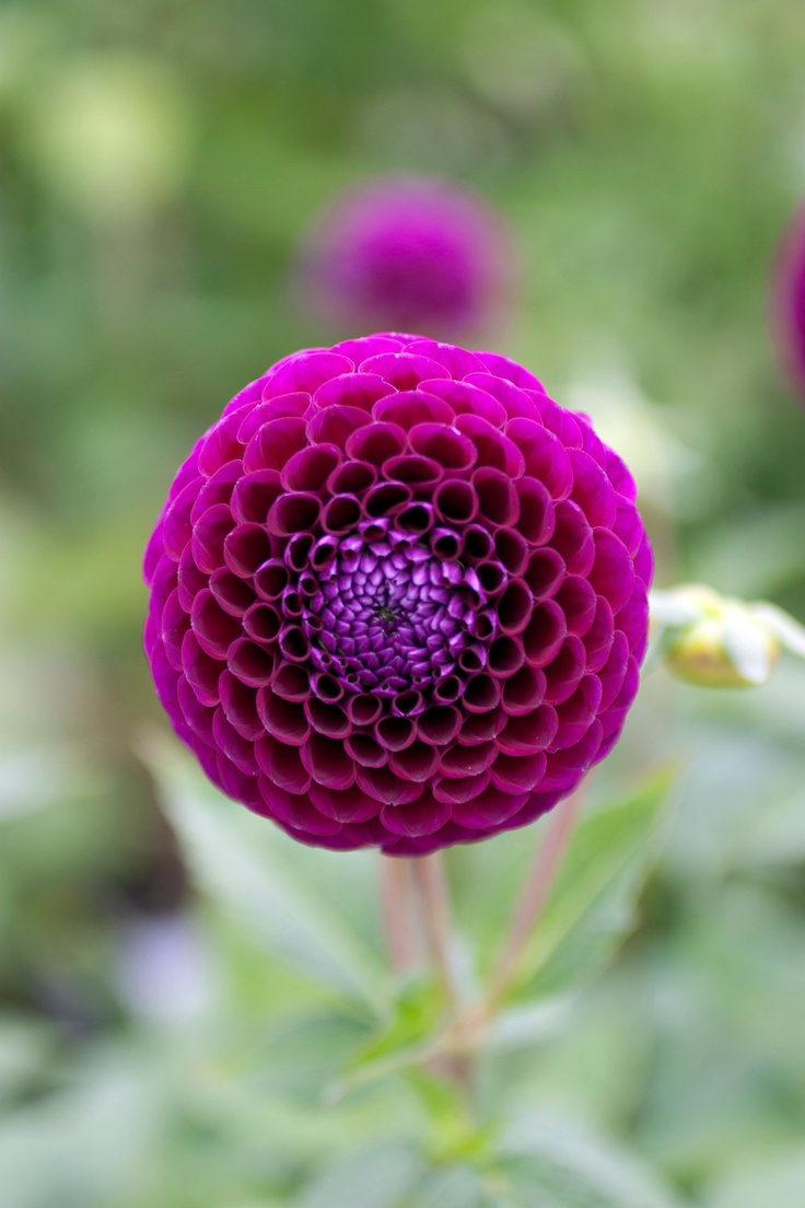 42 best images about dahlias pom pons on pinterest duke classic books and old houses. Black Bedroom Furniture Sets. Home Design Ideas