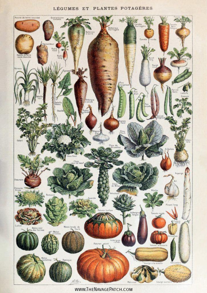 Amazing Free Vintage Botanical Prints Botanical Illustration Vintage Vegetable Prints Etsy Wall Art