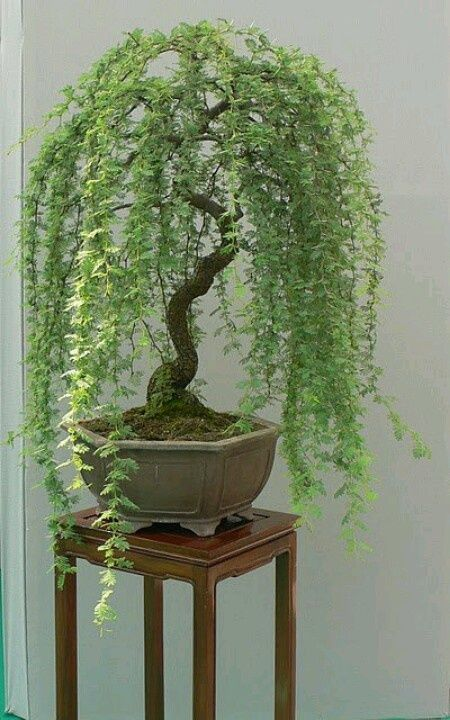 A Weeping Willow Bonsai Tree. Want one for yourself to add to your home décor or patio decorations?  Check it out! Bonsai Trees are sweeping the nation! See more awesome bonsai trees at http://www.nurserytreewholesalers.com/                                                                                                                                                      More