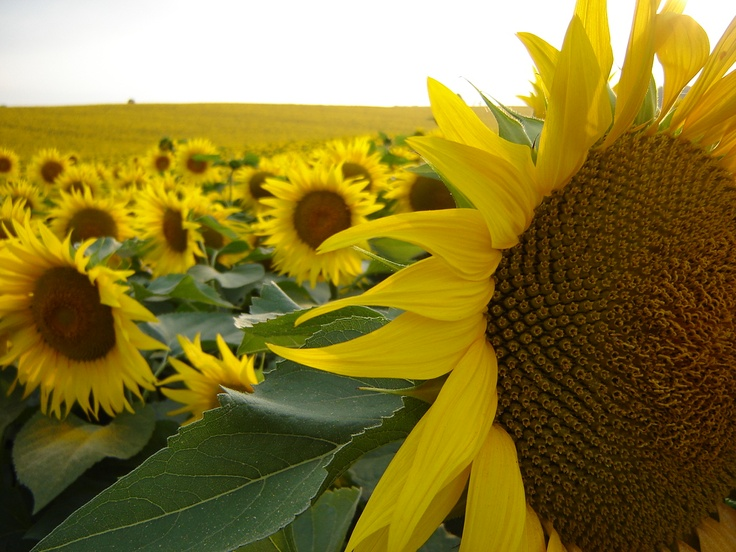 Sunflower field- Gers, France